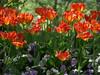Orange & Purple (hbp_pix) Tags: hbppix harry powers mt auburn cemetery spring blooms blossoms