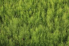 Green / 緑(みどり) (TANAKA Juuyoh (田中十洋)) Tags: 5d markii hi high res hires resolution 高精細 高画質 ibaraki bando nature museum 茨城 坂東 いばらき ばんどう しぜん はくぶつかん 緑 leaf green