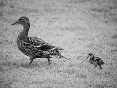 P4222370 (NorthernJoe) Tags: ducks mother child follow big small offspring generations bird walking nature wildlife