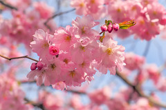 Pretty in Pink (Jens Haggren) Tags: cherryblossom sakura flowers tree japanesecherry colours pink kungsträdgården stockholm sweden olympus em1 jenshaggren
