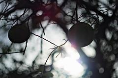 Pomelos en el paraíso (mujik estepario) Tags: pentaxk5iis helios44m658mmf2 bokeh flora pentaxlife pentax pentaxart m42 desenfoque
