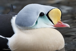 A King Eider drake closeup