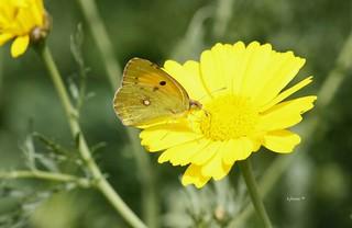 La mariposa Colias croceus es una especie  de la familia  Pieridae. Lepidóptero nocturno,  comunmente se la llama Mariposa Amarilla.