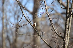 Marsh Wren at Maybury State Park (Northville, Michigan) - April 2018 (cseeman) Tags: parks stateparks michiganstateparks departmentofnaturalresources michigandepartmentofnaturalresources northville michigan maybury mayburystatepark trees trails paths nature publicparks wildlife mayburyapril2018 wren marshwren birds mayburyapril2018marshwren