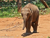 Baby (MWBee) Tags: srilanka uwawalaweelephanttransithome udawalawe babyelephant calf mwbee nikon d750 nationalgeographic