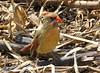 Northern Cardinal female (Lois McNaught) Tags: northerncardinalfemale cardinal bird avian nature wildlife hamilton ontario canada