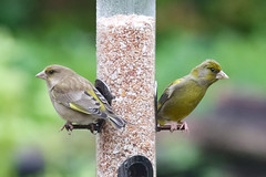 Mr & Mrs (stellagrimsdale) Tags: greenfinch birds birding birdfeeder birdphotography mygarden bird seeds perched green garden rainyday