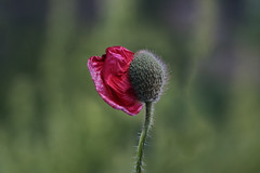 Unfolding (Dragan*) Tags: poppy flower bud plant petal red nature springtime outdoor blossom bulka grass unfolding
