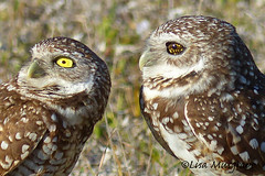 Burrowing Owls eyes (LC10S) Tags: cape coral florida burrowing owl eye color mutation