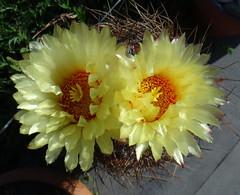 Astrophytum capricorne (armen.cactus) Tags: cactus succulent astrophytum capricorne blooms flowers