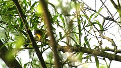 Blue-winged Warbler_1501.mp4 (Henryr10) Tags: warbler bluewingedwarbler vermivoracyanoptera vermivora avian bird vogel ibon oiseau pasare fågel uccello tékklistar bwwa