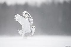 quebec-2018_DSC7458b (Marco Pozzi photographer (900k+ views, thanks)) Tags: snowy snowyowl raptor birdofprey white frozen quèbec canada marcopozziphotographer marcopozzi pozzi specanimal
