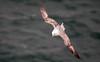 Fulmar (Chalto!) Tags: portland portlandbill bird dorset fulmar