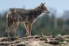 Coyote, Quivira NWR, Kansas (031546) Tags: coyote mammal kansas quiviranationalwildliferefuge
