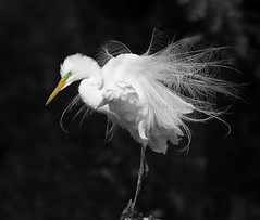 2018-04-05 P1211037 Ready for Love (Tara Tanaka Digiscoped Photography) Tags: bird greategret white feathers plumes breedingplumage bw nature spring nikon400mmf28 mirrorless gh5 manualfocus green