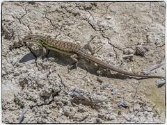 LAGARTIJA (BLAMANTI) Tags: lagartija lagarto lagartos reptiles rastrero prehistorico primitivo canon canonpowershotsx60 blamanti