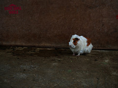 FORK THIS SIDE (murozo) Tags: guinea pig animal safari park ichinoseki iwate japan モルモット 動物 サファリパーク 岩手 一関 日本