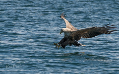 White-Tailed Sea Eagle (Karen Miller Photography) Tags: whitetailedeagle whitetailedseaeagle seaeagle eagle raptor birdofprey mull mullcharters water sea bird flight talons loch april 2018 nikon d500 nikkor70200vriif28