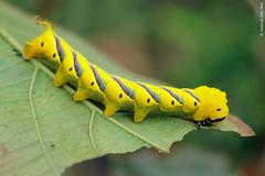 Unidentified Sphingidae (Hawk Moth) caterpillar from Thailand (Wonder Kitsune (Catching up !)) Tags: sphingidae mothsofthailand unknowninsect thailand chiangmai