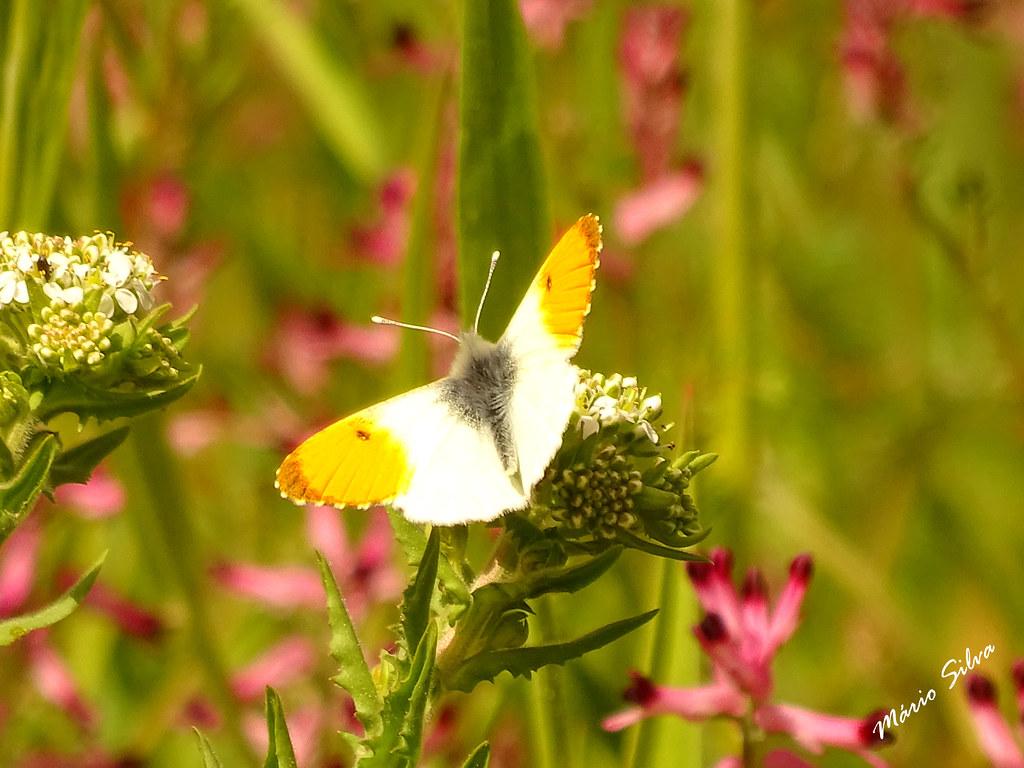 Águas Frias (Chaves) - ... borboleta  pousada em flor ...