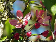 Dappled Apple Blossom (Cornishcarolin. Stupid busy!! xx) Tags: cornwall penryn wwwenysgardensorguk flowers appleblossom tree nature 1001nights 1001nightsmagiccity 1001nightsmagicgarden