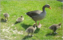 Goose and Four Goslings.. (** Janets Photos **) Tags: uk hull noddlehill bransholmenaturereserve nature geese goslings ganders