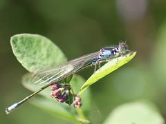 Damselfly (piranhabros) Tags: damselfly insect animal blue green plant