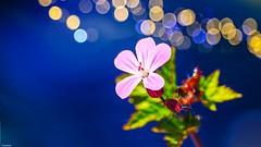 Flower - 5113 (YᗩSᗰIᘉᗴ HᗴᘉS +15 000 000 thx) Tags: nature blue flower flora macro bokeh hensyasmine namur belgium europa aaa namuroise look photo friends be wow yasminehens interest intersting eu fr greatphotographers lanamuroise tellmeastory flickering