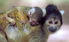 squirrelmonkey apenheul BB2A1860 (j.a.kok) Tags: doodshoofdaapje aap mammal monkey squirrelmonkey animal zoogdier zuidamerika southamerica apenheul primaat primate motherandchild moederenkind