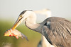 Grey Heron and breakfast (frankps) Tags: greyheron gråhegre fisk fish pusztaszer hungary ungarn