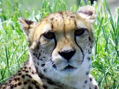 IMG_6798 (kennethkonica) Tags: indianapoliszoo zoo animalplanet animal indianapolis indiana indy canonpowershot canon hoosier random midwest usa america color animaleyes zoos mood cheetah closeup