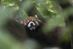 China (richard.mcmanus.) Tags: china panda redpanda wildlife animal mammal mcmanus chengdu