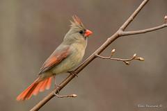 Northern Cardinal (Earl Reinink) Tags: wild wildlife nature branch tree bird animal outdoors cardinal northerncardinal earl reinink earlreinink spring red tatduaodza