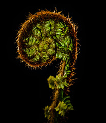 Low Key Fern.. (EYeardley) Tags: fern nature plant curly green lowkey mm macromondays nikon sigmamacro macro nikond3300 d3300 hmm sigma