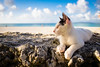 thrivers on islands #126 (Taketomi Island, Okinawa) (Marser) Tags: xt10 fujifilm raw lightroom japan okinawa taketomi island cat sea beach 沖縄 竹富島 猫 貓 海 砂浜