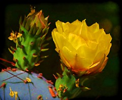 SIMPLICITY IS THE ULTIMATE SOPHISTICATION (Irene2727) Tags: cactus cactusflower blossom flower flora nature desert thorns green coth5