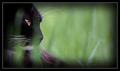 Detached (J Michael Hamon) Tags: pet cat kitty pussy feline gato grass outdoor outdoors nature vignette phtoborder closeup portrait hamon nikon d3200 nikkor 55300mm chat may