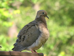 IMG_9142 (gatorbait1962) Tags: dove mourningdove doveonroof
