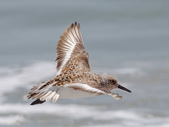 Sanderling (tresed47) Tags: 2018 201805may 20180509njwetlandsbirds birds canon7d content flightshot folder general may newjersey peterscamera petersphotos places sanderling season shorebirds spring stoneharbor takenby us