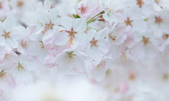 The Wedding Bells are Ringing (Ben-ah) Tags: wedding sakura cherryblossoms flower nybg newyorkbotanicalgarden petal macro