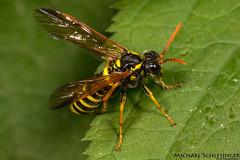 Braunwurzblattwespe (Tenthredo scrophulariae) (MikeSierraPhotography) Tags: braunwurzblattwespe tenthredoscrophulariae figwortsawfly wespe