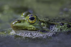 I see you (SonjaS.) Tags: frosch iseeyou wasserfrosch grün frog happysmileonsaturday smileonsaturday flickr sonjasayer thema eyecatcher eye spiegelung reflection botanischergartentübingen