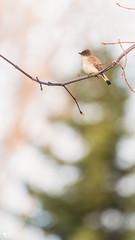 ''Liberté!'' Moucherolle phébi-Eastern phoebe (pascaleforest) Tags: oiseau bird animal passion nikon nature wild wildlife faune light lumière goldenhour lumièredorée québec canada