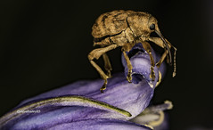 Nut and Acorn Weevil (Curculio) (stevenbailey7) Tags: macrodreams curculionoidea weevil beetle insects flowers flower nature beetles spring wildlife flickr carmarthenshire nikon garden wales tamron flora bluebell fauna countryside detail macro closeup springtime
