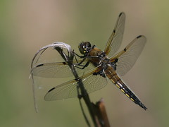 Dragonfly  :) (Paridae) Tags: dragonfly dragonfliesofbritishcolumbia dragonfliesoflangley pondlife fourspottedskimmer libellulaquadrimaculata insectsofbritishcolumbia insects insecteaters insectsofcanada thingswithwings afewofmyfavouritethings canoneos1dx campbellvalleypark