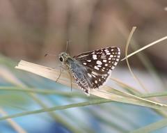 Pyrgus communis, Common Checkered-skipper (tripp.davenport) Tags: lakebalmorhea reevescounty tx pyrguscommunis commoncheckeredskipper lepidoptera skipper