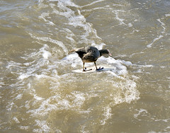 Surf Boarding Coot (adrians_art) Tags: coot birds rails water surfboarding sport riverthames waves comical fun funny amusing