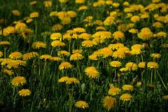 friday's flower power (Sabinche) Tags: dandelion flower yellow fridaysflowerpower ffp