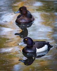 Tufted Ducks (Chris@184) Tags: aythyafuligula canon100400f56lisusmii canoneos70d caprice england kingsmillreservoir nottinghamshire tuftedduck bird chris184