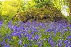 Bluebells (Kingsley_Allison) Tags: bluebells nature woods flowers northyorkshire pateleybridge harrogate nikon nikond7200 woodland